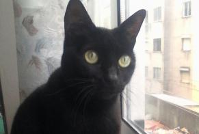 Disappearance alert Cat  Female , 10 years Queluz e Belas Portugal