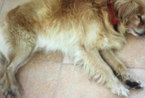 Disappearance alert Dog Male , 8 years Tavira Portugal